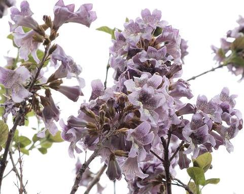 桐の花 021