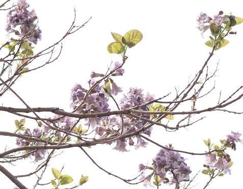 桐の花 048