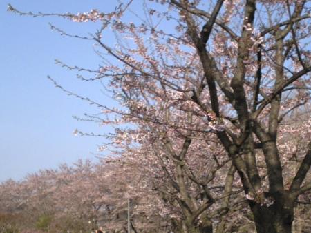 minatosakura.jpg