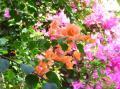東山植物園 ブーゲンビリア