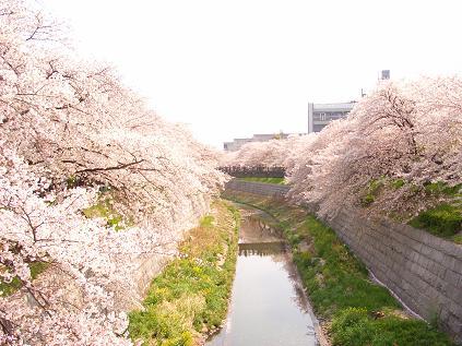 山崎川のさくら