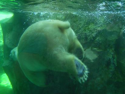 旭山動物園:ほっきょくぐま館3
