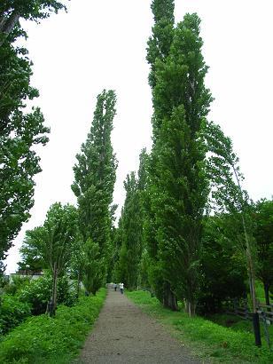 北海道大学:ポプラ並木