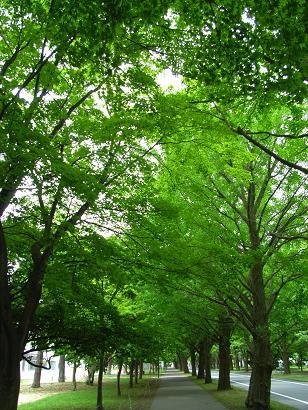 北海道大学:イチョウ並木