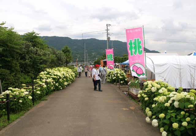2011kaiseiajisai6