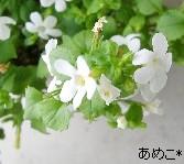 バコパ(白)