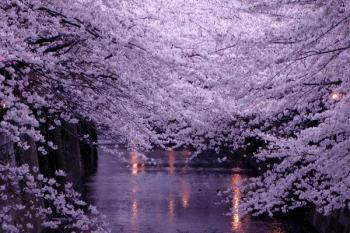 20070331_sakura2.jpg