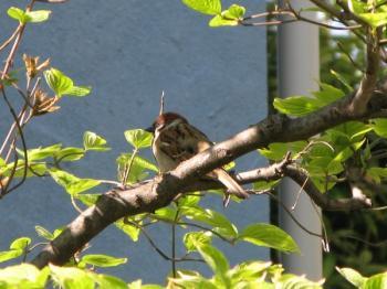 20070509_sparrow.jpg