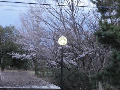 夜になりかけの桜