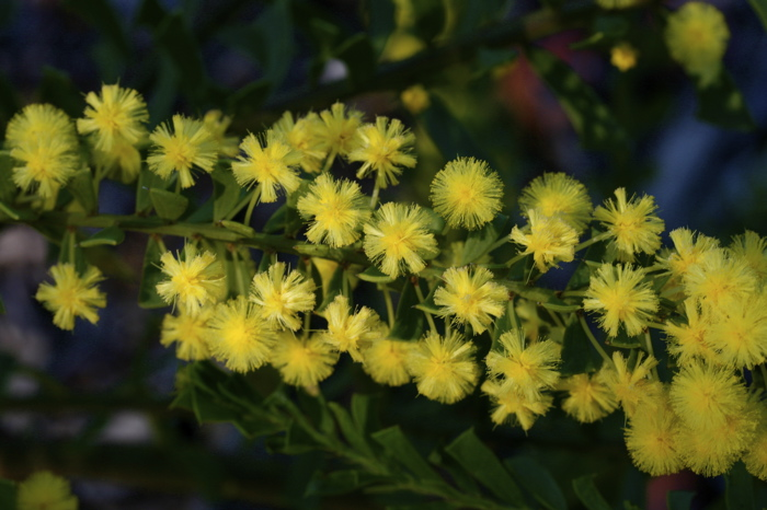 AcaciaTruncata.1708.8781.jpg
