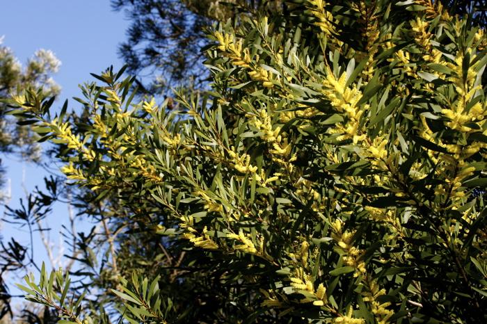 AcasiaLongfolia0907.5314.jpg