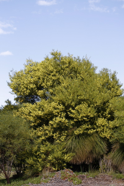 AcasiaLongfolia1107.5448.jpg