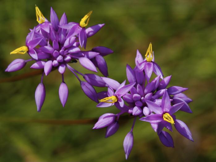 PurpleTassels.2308.9581.jpg