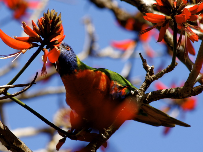 RainbowLorikeet0208.7038.jpg