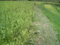 みかん茶屋の畦草刈り