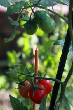0721トマト2