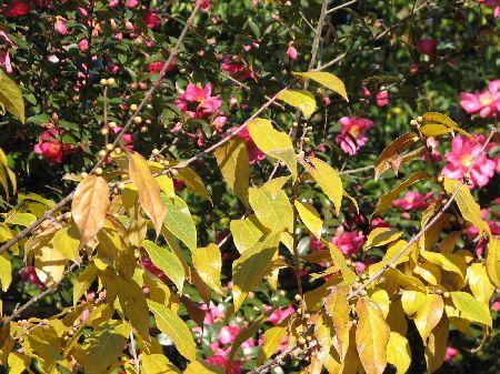 山茶花とロウバイ