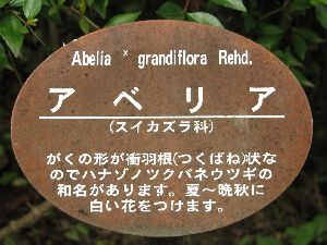 アベリア-1