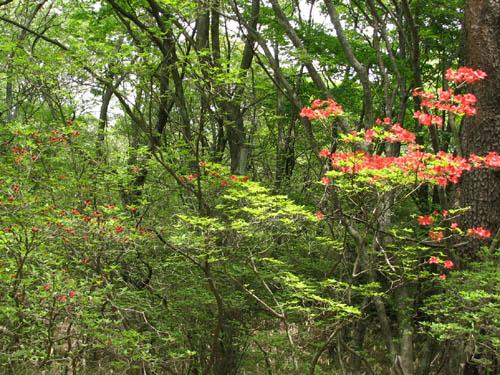 伊香保森林公園のヤマツツジ