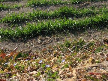 2月の麦畑