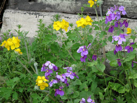 紫花菜とクサノオウ