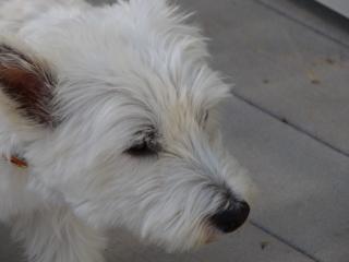 看板犬のシェルティさん