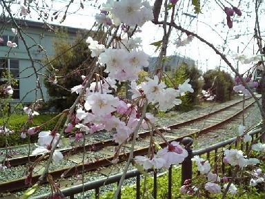 梅小路の桜