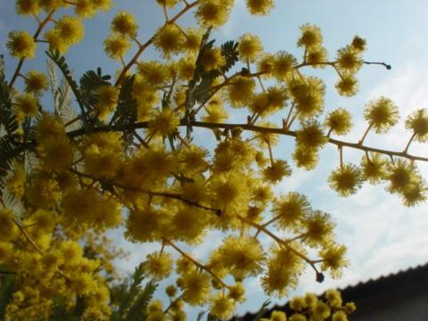 ミモザの花のアップ