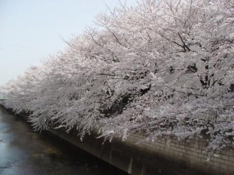 4月1日桜満開