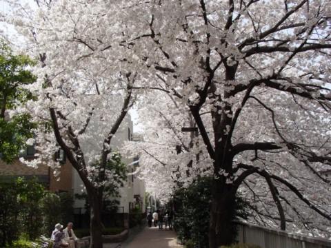 桜の下の遊歩道
