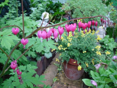 鯛釣り草ピンク開花