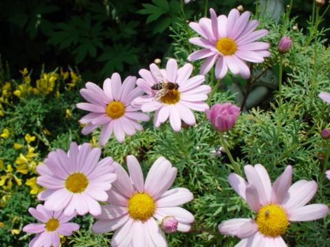 マーガレットと蜂
