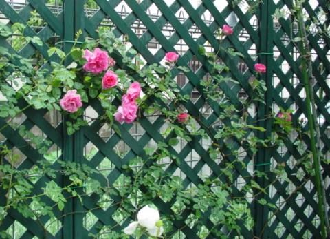 ゼフィ続々開花