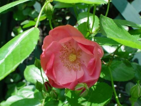 アンジェラの一番花