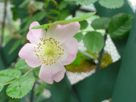 ロサ・エグランテリアの一番花