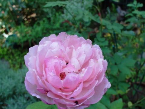 芍薬のような秋の公爵夫人