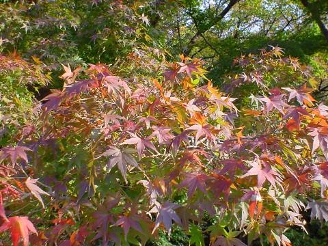 秋の日差しに輝く紅葉