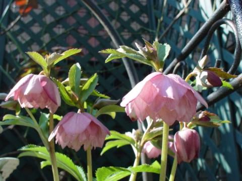ちびクリローダブルピンクも開花