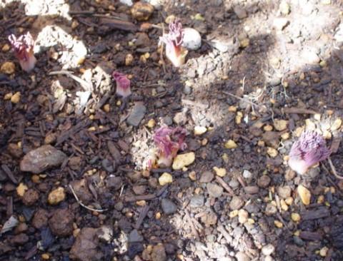 鯛釣り草ピンク芽