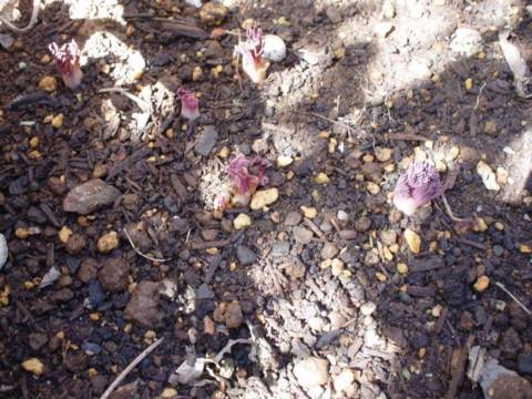 鯛釣り草の芽(ピンク)