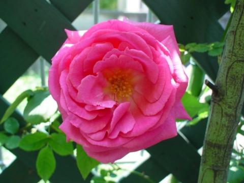 ツェッペリン開花