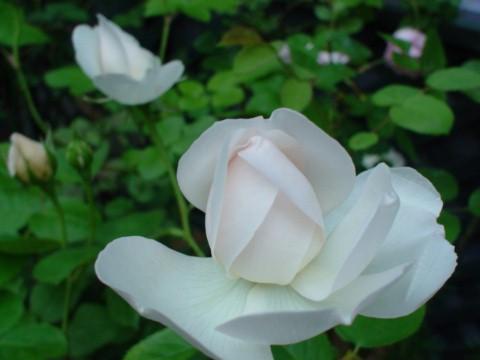開花直前のグラミス