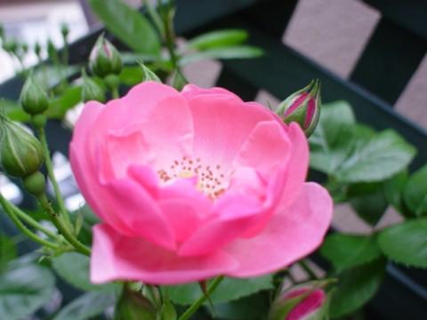 アンジェラ開花