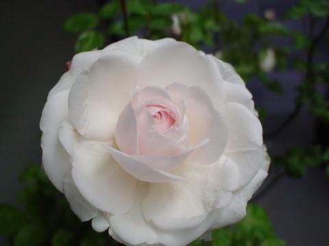 粉粧楼2つ目開花
