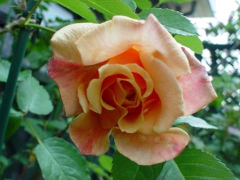 カラメラ開花