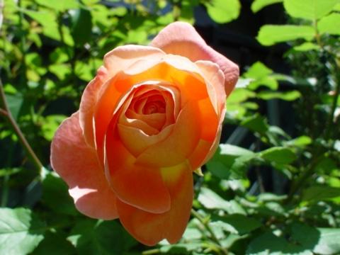 レディハミルトン開花