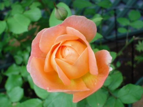 咲きはじめのレディハミルトン