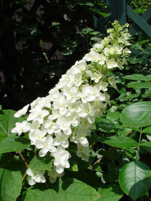スノーフレークの花穂