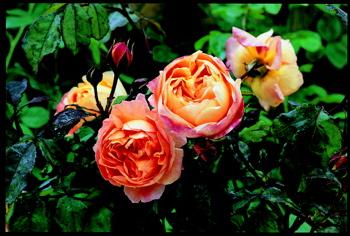レディ・エマ・ハミルトンの花