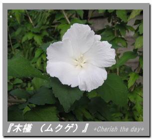 木槿(ムクゲ)の花☆